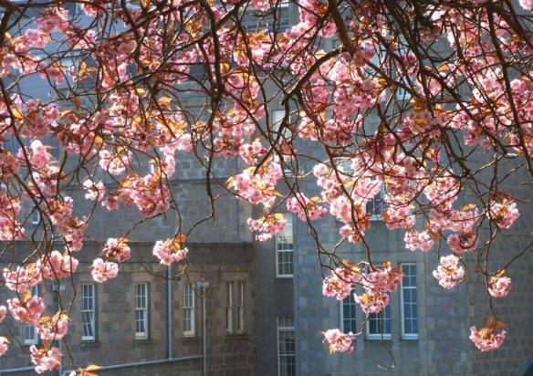 Cherry Blossom at ARI
