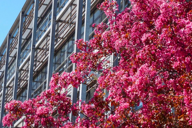 Pink apple blossom outside the Suttie Centre