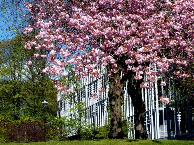 Spring cherry blossom outside the Rowett Institute